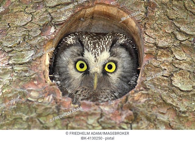 Boreal owl (Aegolius funereus), adult, looking out of its nesting hole in a nesting box, North Rhine-Westphalia, Germany