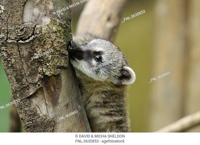 South American Coati Nasua nasua in a tree