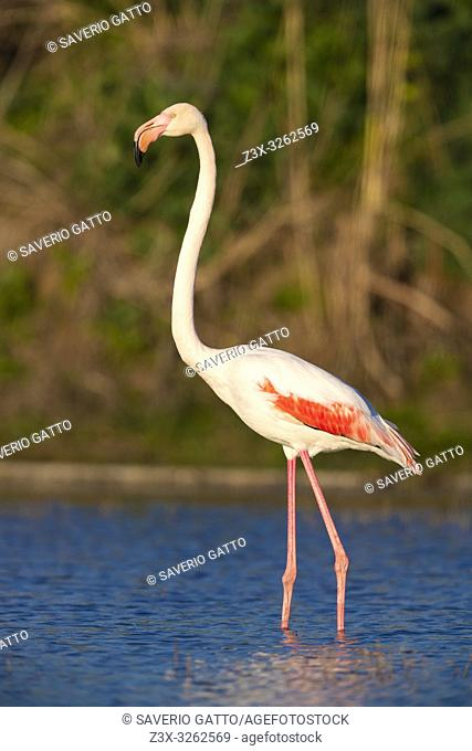 Greater Flamingo (Phoenicopterus roseus), side view of an adult standing in a swamp