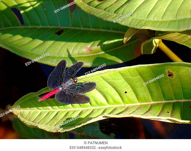 Dragonfly drying its wings in the sun while posing on a leaf. Canaima village