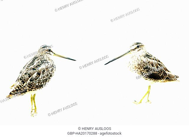 Snipe, bird; species; South American bird (Becassine)