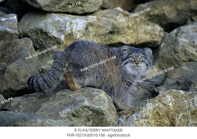 Pallas Cat Otocolobus manul Female on rocks - captive - Howletts Zoo, UK