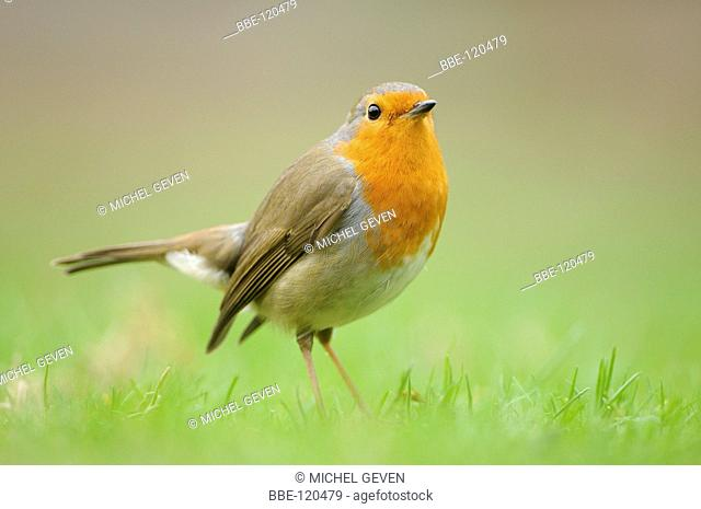 European Robin foraging on the ground