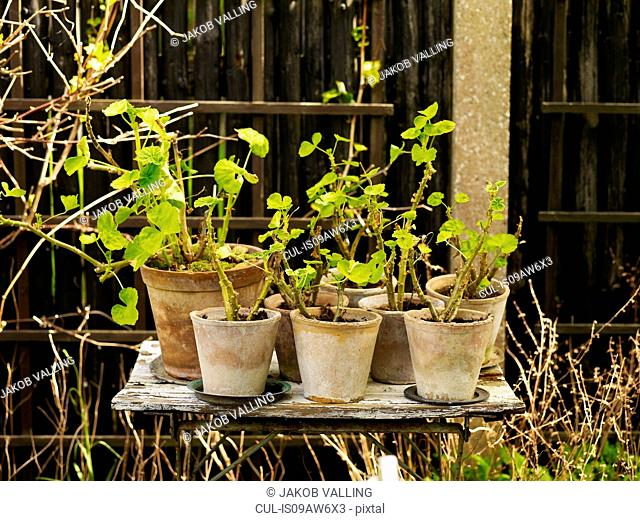 Rustic garden table with geranium plants in pots