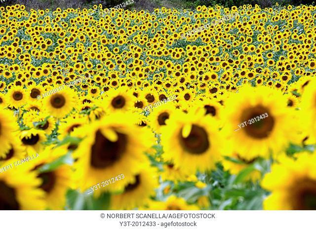 Europe, France, Alpes-de-Haute-Provence, Valensole. Fields of sunflowers