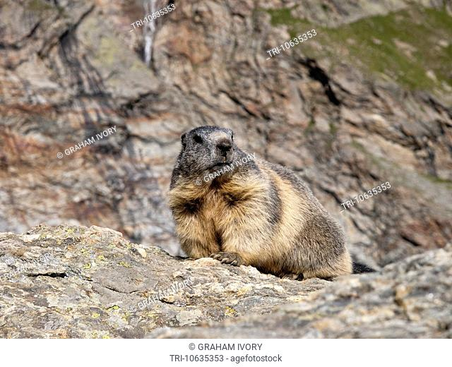 Alpine Marmot in the Swiss alps