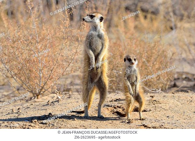 Meerkats (Suricata suricatta), adult and young observing the surroundings, Kgalagadi Transfrontier Park, Northern Cape, South Africa, Africa