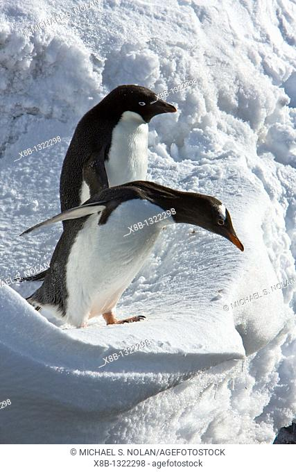 A banded adult Adelie penguin Pygoscelis adeliae watches as a gentoo penguin approaches an ice cornice on Barrentos Island in the Aitcho Island Group