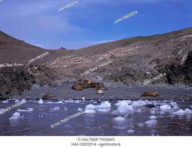 Antarctic, Antarctic, Antarctic Ocean, cruise, Livingston Island, sea elephant, seal, penguins, move penguins, colony