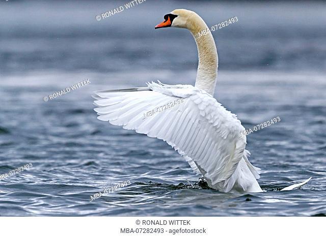 Mute Swan, (Cygnus olor), wildlife, Germany