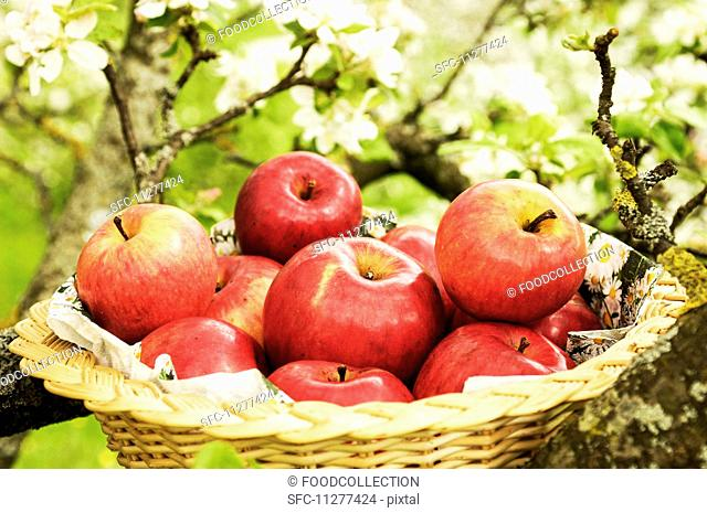 A basket of fresh red apples