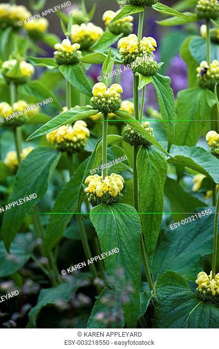 Yellow Archangel Lamium galeobdolon