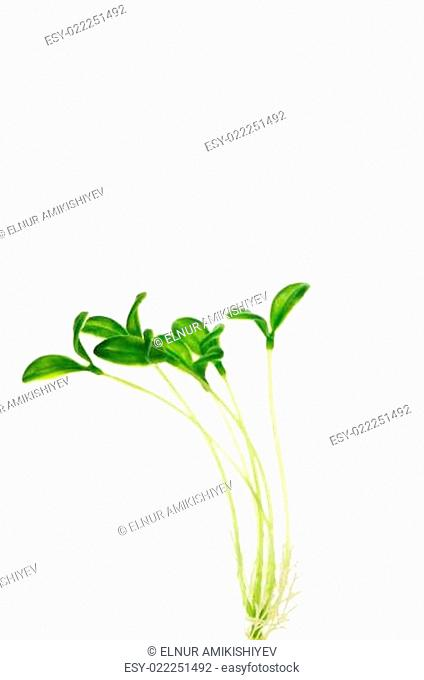 Green saplings isolated on the white background