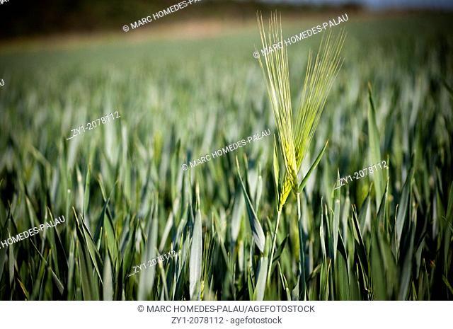 Couple motive: Wheat field in Germany
