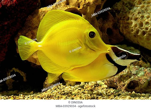 Aquarium, yellow tang, Zebrasoma flavescens, fox-face, Siganus spec., fishkeeping, reef-aquarium, saltwater-aquarium, sea-water-aquarium, animals, fish, two