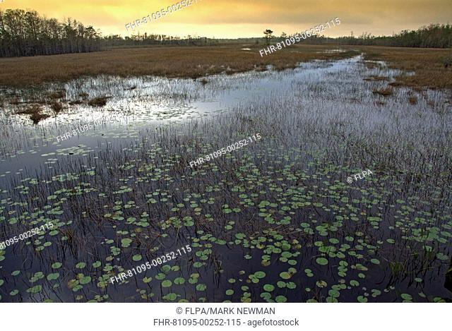 View of wetland habitat with waterlilies, at dusk, Grassy Waters Preserve, Palm Beach County, Everglades, Florida, U S A