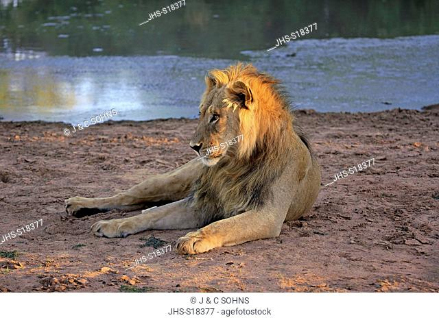 Lion, (Panthera leo), male five years old resting at water, Tswalu Game Reserve, Kalahari, Northern Cape, South Africa, Africa
