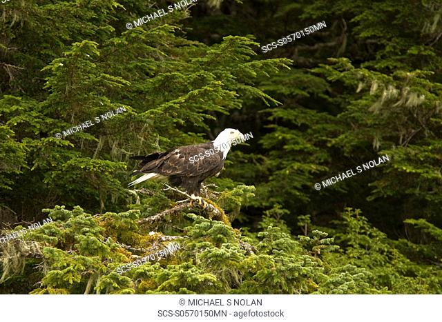 Adult bald eagle Haliaeetus leucocephalus just outside of Sitka, Southeast Alaska, USA Pacific Ocean The Bald Eagle is a large bird
