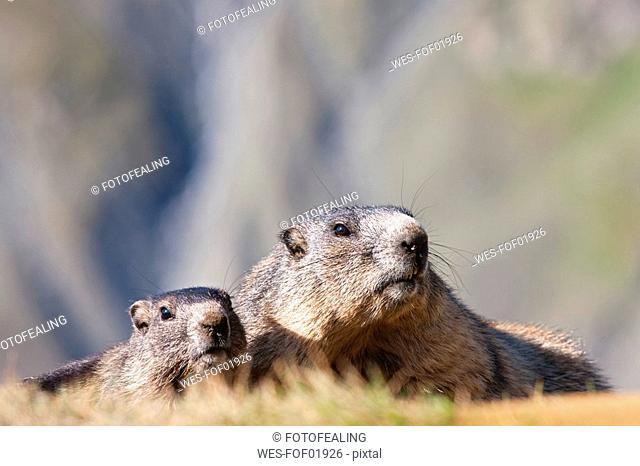 Austria, Alpine Marmots Marmota marmota