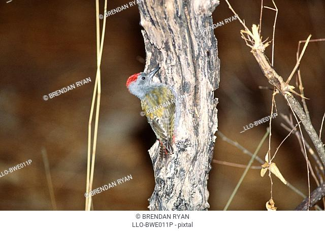 Grey Woodpecker Dendropicos goertae Pecking on a Tree  Tarangire National Park, Tanzania