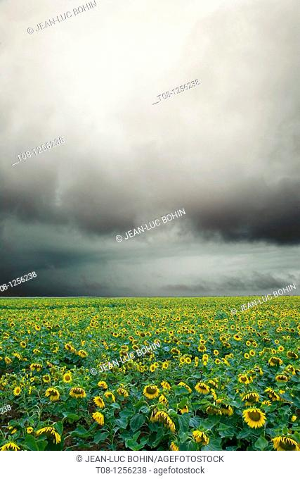 France, 85, Vendee: A field of sunflowers under cloud