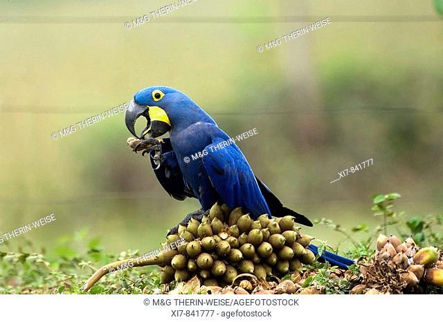 Hyacinth Macaw eating palm fruits, Anodorhynchus hyacinthinus, Endangered specie, Pantanal, Mato Grosso, Brazil