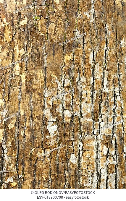 Nature oak bark for use as background. Closeup