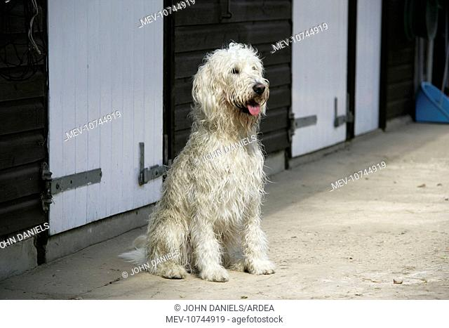 Cream labradoodle sitting in front of stables