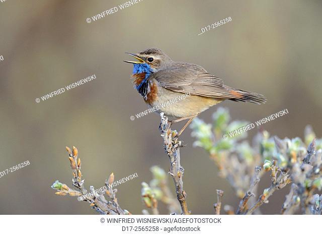 Singing red-spotted bluethroat (Luscinia svecica svecica). Norway