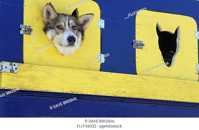 Racing Dog Peeking out of Dog House and participant in the 2007 Yukon Quest, Whitehorse, Yukon