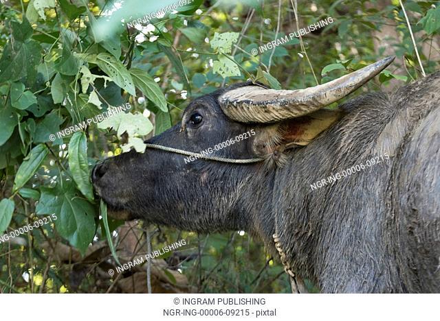Close-up of buffalo eating leaves, Kamu Lodge, Ban Gnoyhai, Luang Prabang, Laos