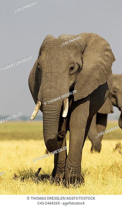 African Elephant (Loxodonta africana) - Cow in the Savuti marsh. Chobe National Park, Botswana