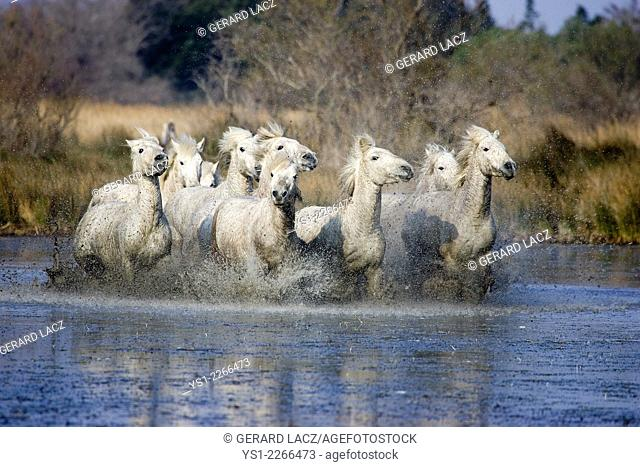 Camargue Horses, Herd Galloping through Swamp, Saintes Marie de la Mer in the South of France