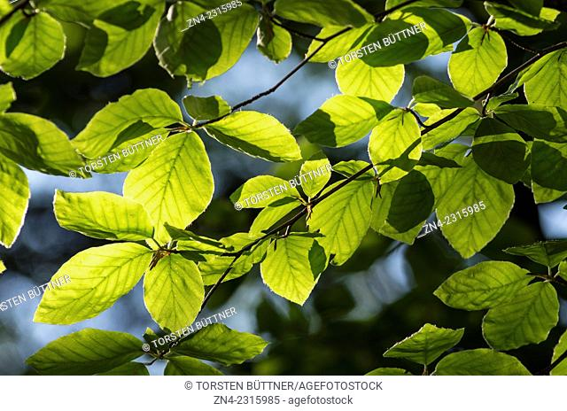 Leaves being backlit by Sun, Kalkalpen National Park, Austria