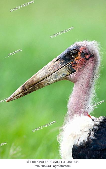 Marabou Stork (Leptoptilos crumeniferus). Serengeti, Tanzania, Africa