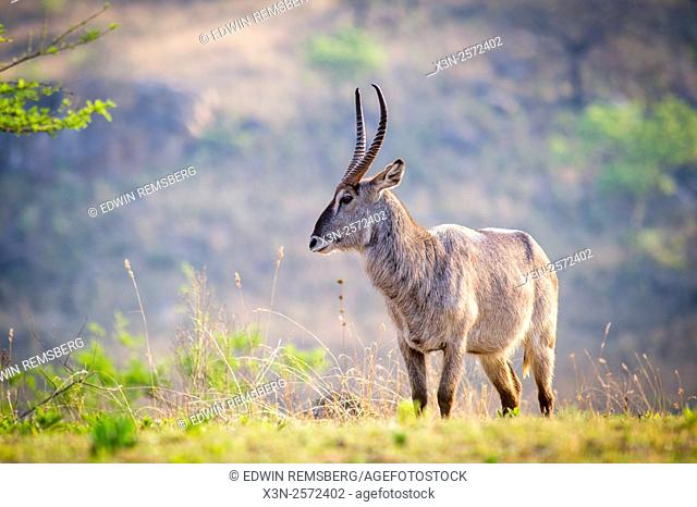 Waterbuck (Kobus ellipsiprymnus) Grazing at Mlilwane Wildlife Sanctuary in Swaziland, Africa