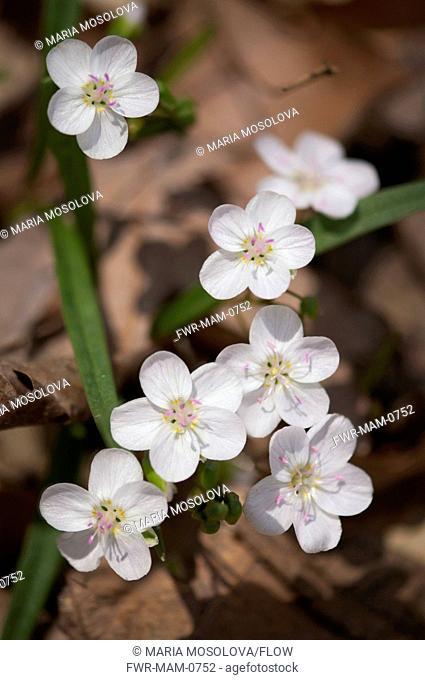 Claytonia virginica, Spring beauty, White subject