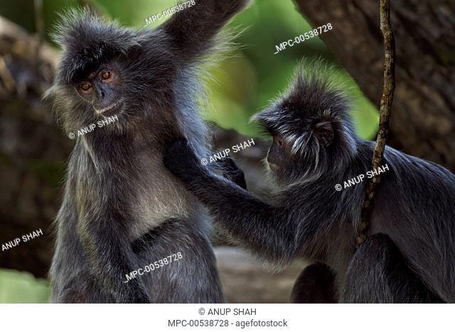 Silvered Leaf Monkey (Trachypithecus cristatus) pair grooming, Bako National Park, Sarawak, Borneo, Malaysia
