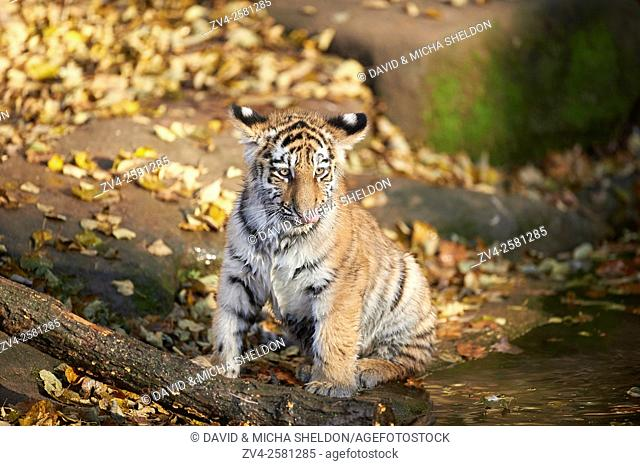 Close-up of Siberian tiger or Amur tiger (Panthera tigris altaica) youngster in autumn. Captive. Germany