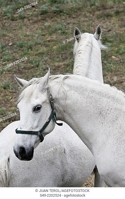 Detail of two white horses