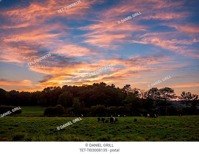 USA, Maine, Rockport, Cows grazing in pasture at sunset