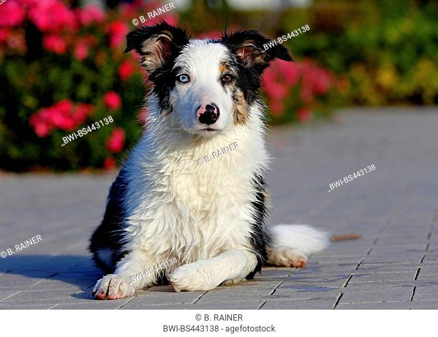 Australian Shepherd (Canis lupus f. familiaris), 5 months old male, Blue Merle, lying on the ground watching, Germany