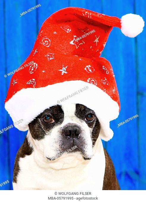 Dog, Boston terrier as Nicholas