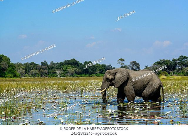 Elephant (Loxodonta africana). Okavango Delta. Botswana
