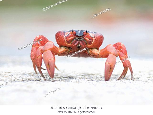 Red Crab (Gecarcoidea natalis) walking on road in Christmas Island in Australia