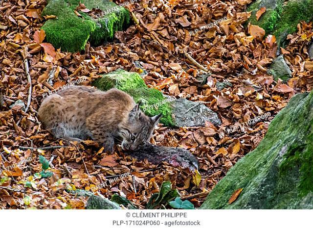 Two month old Eurasian lynx (Lynx lynx) kitten feeding on dead rabbit prey in autumn forest near den