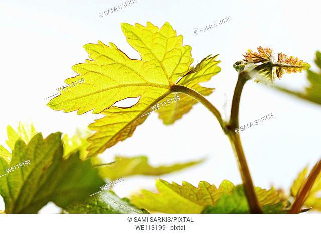 Young vine leaves at spring, close-up on white background