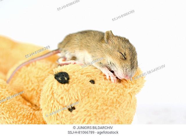 Wood Mouse (11 days old) sleeping on a teddy bear. Germany
