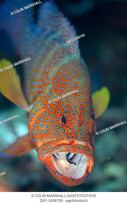 Red Coral Grouper (Cephalopholis miniata) with open mouth being cleaned by Bluestreak Cleaner Wrasse (Labroides dimidiatus), Nudi Rock dive site