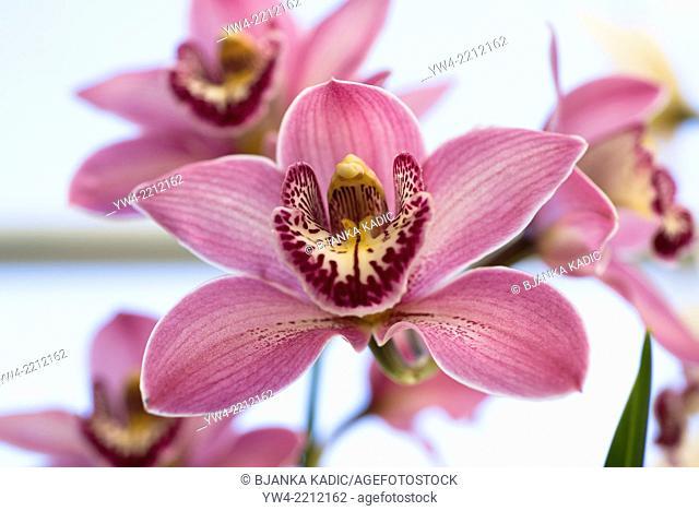 Orchid Cymbidium Rosanette Gx